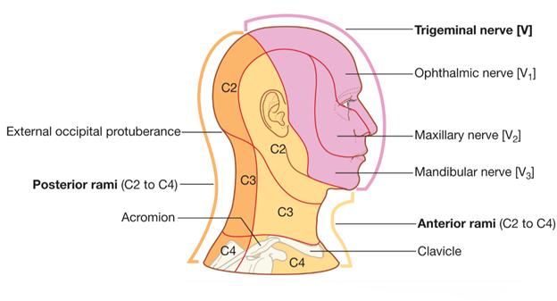 névralgie du trijumeau &quot;width =&quot; 598 &quot;height =&quot; 320 &quot;/&gt;</a></p><ul><li>Parmi les autres causes de névralgie du trijumeau, il y a une tumeur qui se presse sur le nerf ou la sclérose en plaques.</li><li>Cependant, TN peut également résulter de causes non concrètes et concerne principalement les personnes de plus de 40 ans, et touche principalement les femmes.</li></ul><p>Au début, les attaques sont de courte durée, mais au fil du temps, les attaques durent plus longtemps et sont vraiment douloureuses. Certains des déclencheurs habituels d&#39;une attaque TN consistent à se brosser les dents, à se raser, à mâcher, à sourire et à se maquiller, au vent qui souffle sur votre visage, et ainsi de suite.</p><h3>Symptômes courants de la névralgie du trijumeau et options de traitement</h3><p>La douleur névralgique du trijumeau peut durer plusieurs jours, voire des semaines. La douleur se fait sentir sur la mâchoire, les gencives, les dents, les joues et les lèvres.</p><p>Parfois, cette douleur atroce peut même être ressentie dans les yeux ou sur le front. Certaines personnes peuvent ressentir une douleur invalidante d&#39;un seul côté du visage. Au lieu de s&#39;améliorer, l&#39;inconfort augmente avec le temps.</p><p>On diagnostique votre état en posant des questions. <a href=