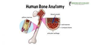 Improves Bone Blood Supply